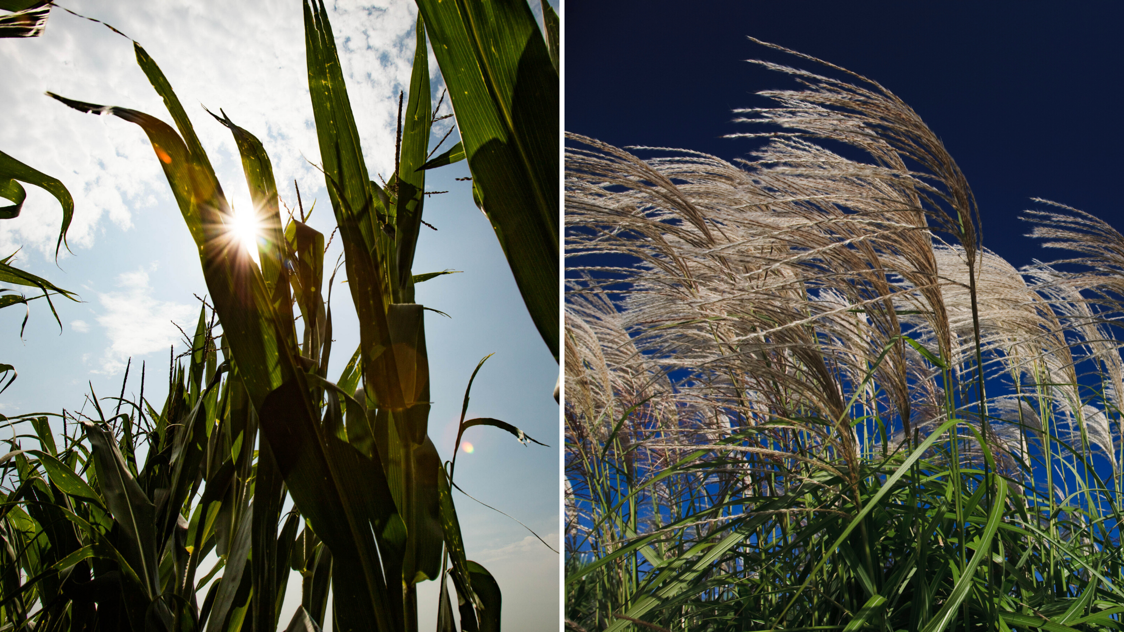Maize and Miscanthus